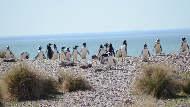 Pingüinos de Magallanes en Punta Tombo.