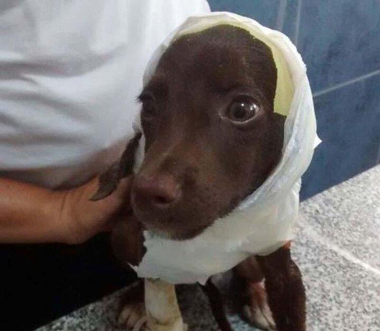 Chocolate se recuperaba en un refugio que lo rescató de la calle.