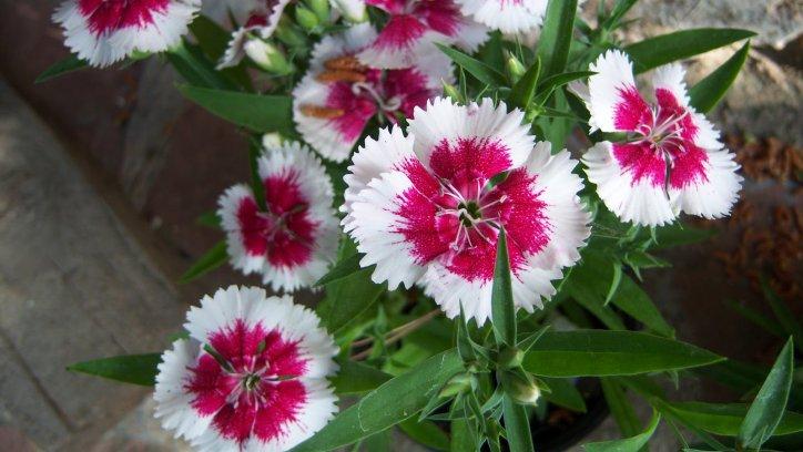 Cinco plantas que dan flores durante todo el a o - Plantas exteriores todo el ano ...