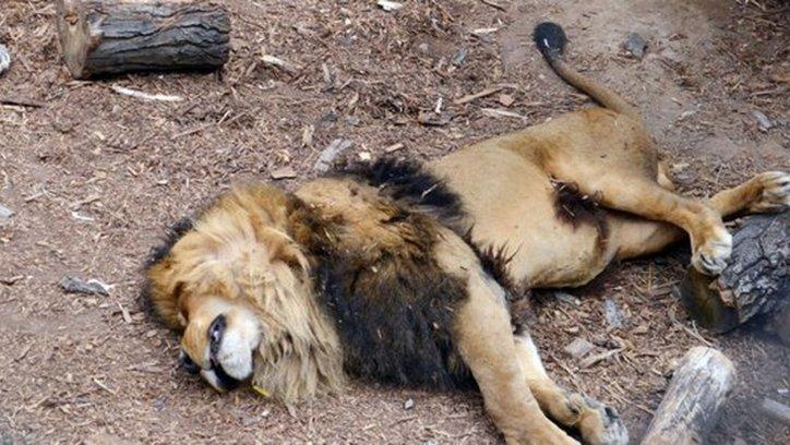 El león yace muerto dentro de la jaula luego de recibir un disparo. Foto; Soy Aconcagua