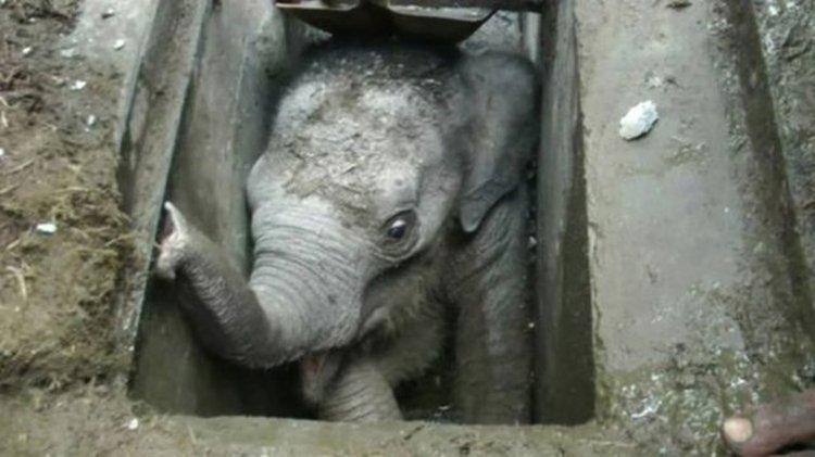 El bebé elefante en la alcantarilla. Trabajadores debieron rescatarlo con gran esfuerzo de todos.