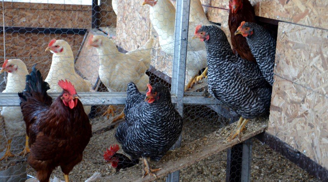 Se Capacita Con Cursos En La Cría Casera De Aves De Corral