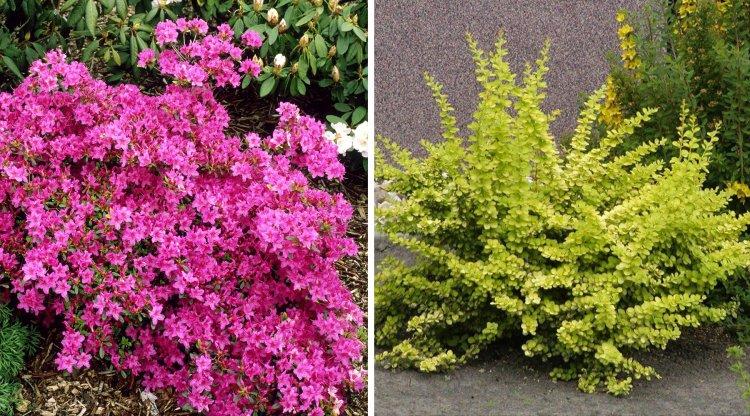 Arbustos ideales para jardines peque os - Arbustos de jardin ...