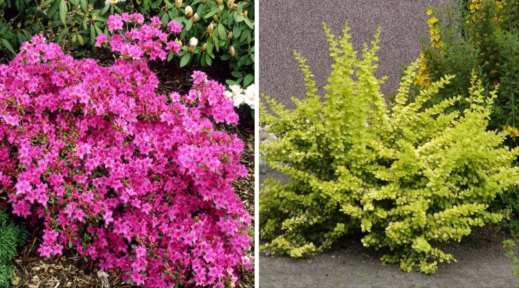 arbustos ideales para jardines peque os