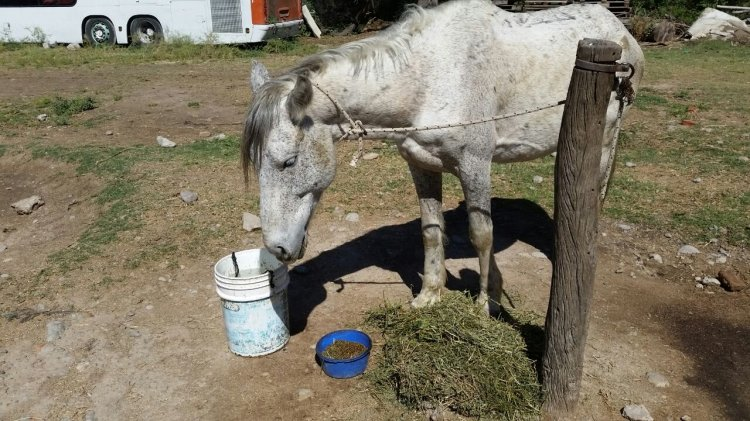 El caballo Vicente en Caballería.