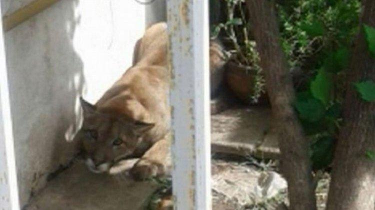 El puma atrapado pesa entre 30 a 40 kilos y miede 1,20 metros de largo.