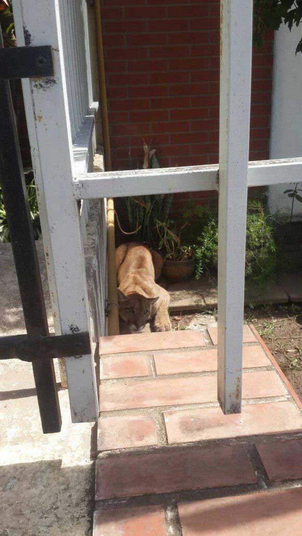 El puma en el jardín de la casa donde fue encontrado.