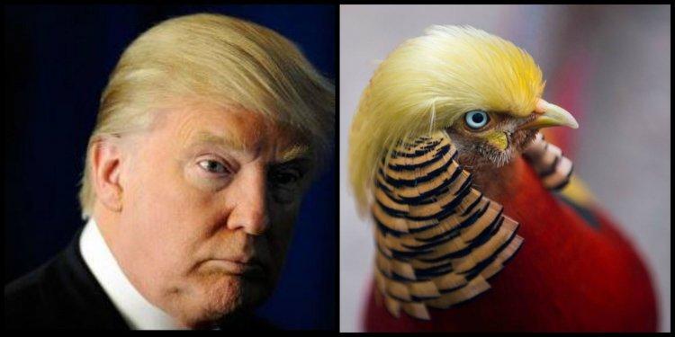 El Fasián Trump reside en el zoológico Hangzhou Safari Park en China. Su cabellera es idéntica al del elegido presidente de Estados Unidos.