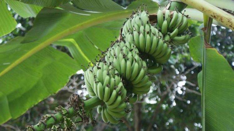 Una plaga amenaza con dejarnos sin banana.