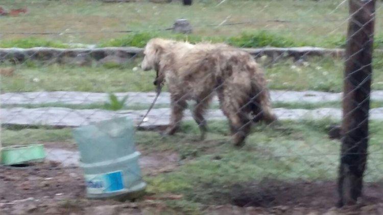 Uno de los perros encadenados en una casa en Vaqueros. Hace un año que está atado por el dueño.
