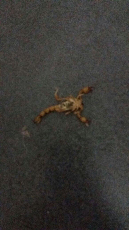 El alacrán que también apareció en la galería de una casa en San Luis.
