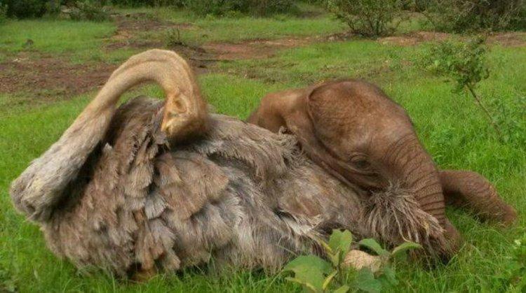 Pea, la avestruz, junto a uno de los elefantes que adoptó y cuida como si fuese su madre.